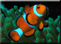 Amphiprion-ocellaris.jpg