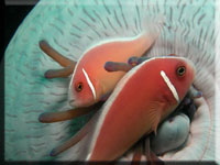 Amphiprion_perideraion.jpg
