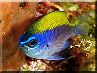 Chromis_insolata.jpg