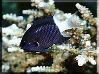 Chromis_margaritifer.jpg